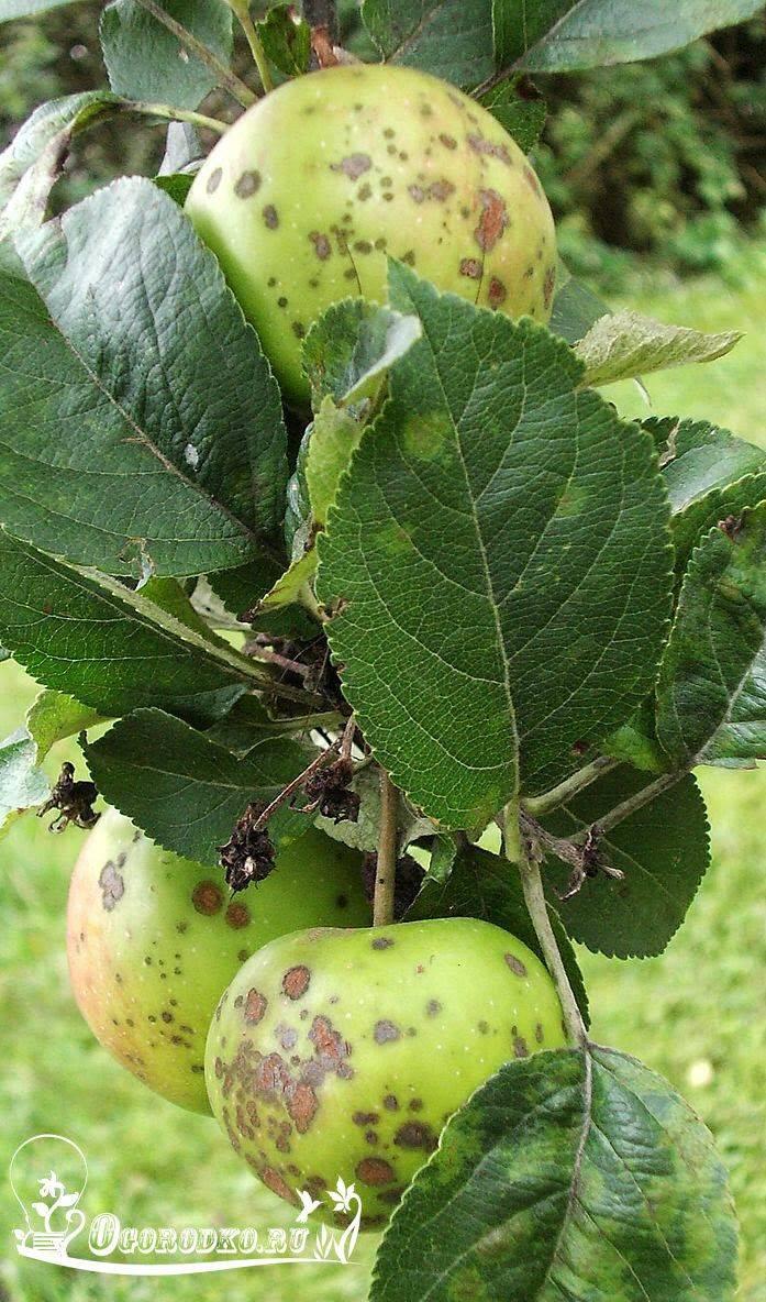 Как бороться с червями и чёрным раком у яблонь? узнаем, чем обработать яблони от червей в яблоках. советы профессионалов