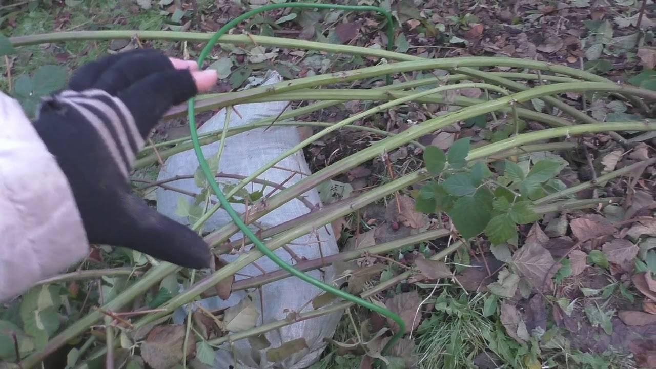 Ежевика: виды и лучшие сорта для выращивания в разных регионах россии, беларуси и на украине