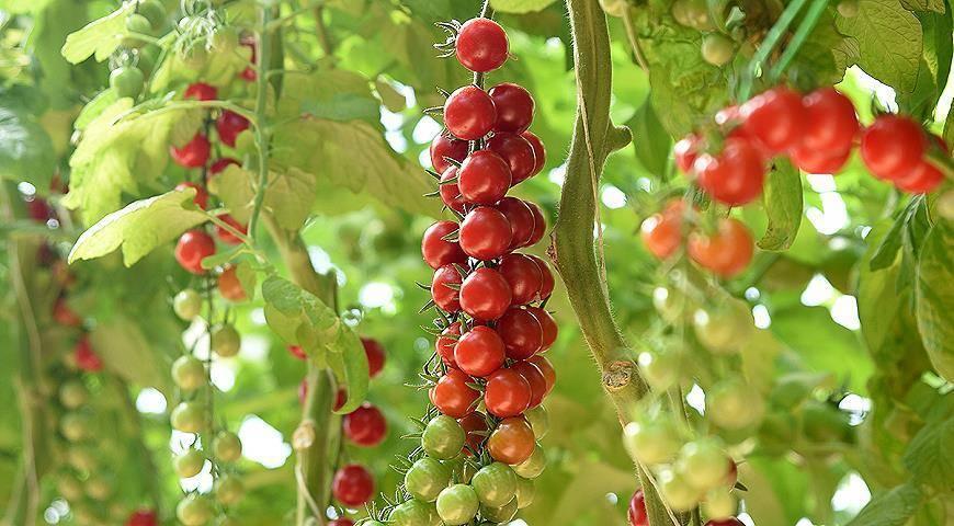 Новые и классические сорта томатов черри для выращивания на даче
