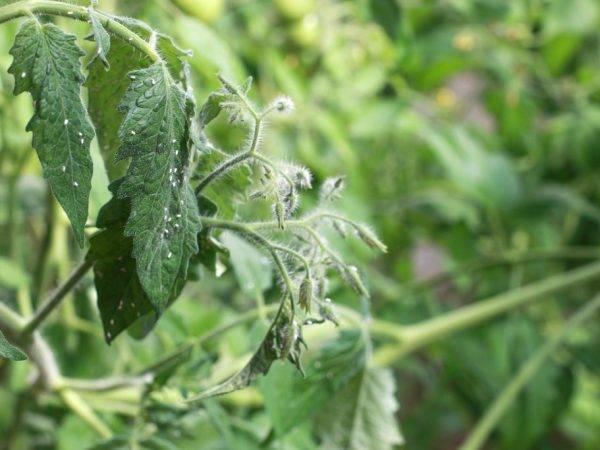 Вредители на рассаде – как распознать и бороться