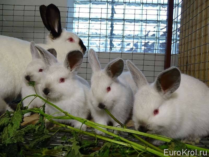 Как давать крапиву кроликам. можно ли давать кроликам крапиву?