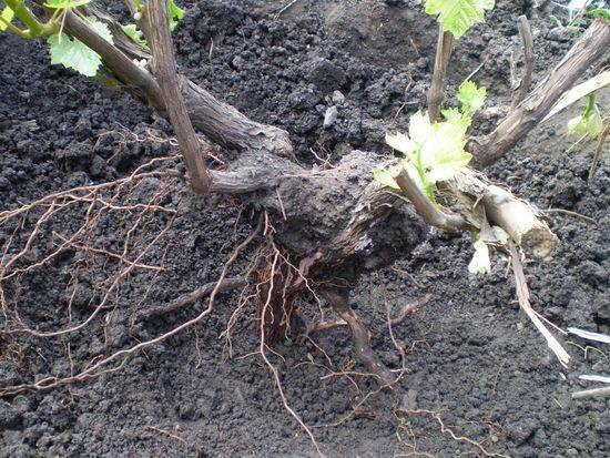 Пересадка винограда весной на новое место, как правильно пересаживать