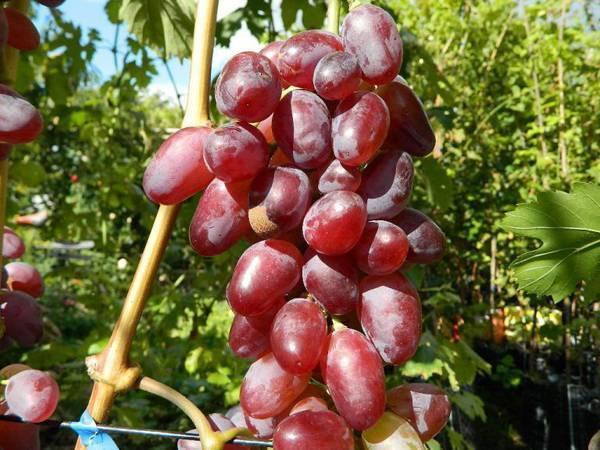 Виноград байконур: описание сорта, его особенности и характеристики, борьба с вредителями и меры профилактики, фото и видео