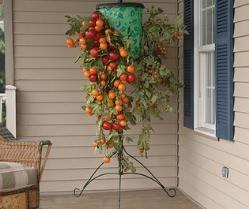 Выращивание помидоров «вверх тормашками»