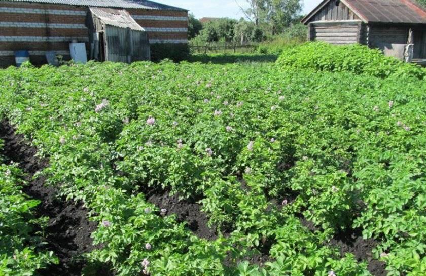 Киевский свитанок сорт картофеля. картофель свитанок: характеристика сорта