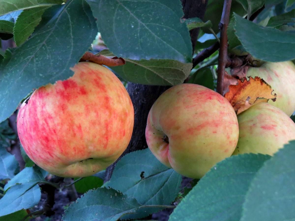 Яблоня 'боровинка' — википедия переиздание // wiki 2