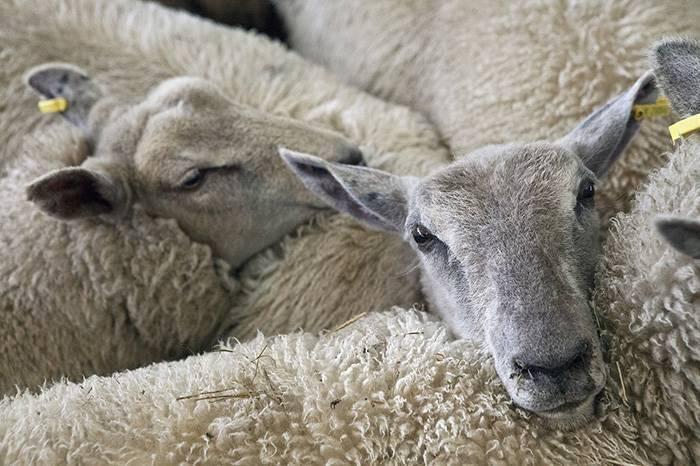 Как вырастить барана на мясо: сколько нужно времени, технология откорма
