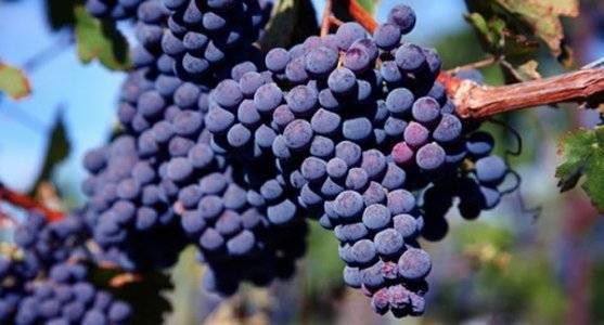 «мерло» — популярный технический сорт винограда