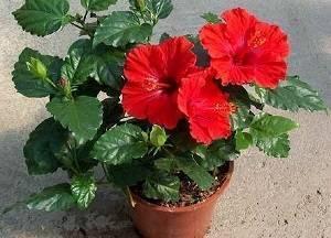 О домашнем цветке гибискусе (желтой и белой китайской розе): виды и сорта