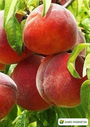 Когда созревают персики