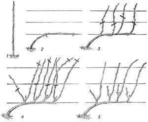 Формирование кустов на винограда - страница 18