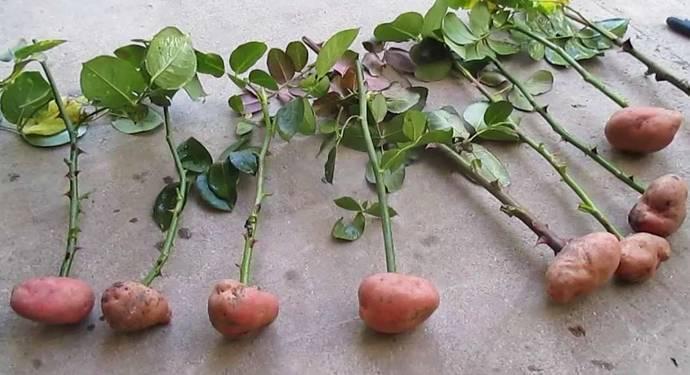 Как размножить яблоню ветками