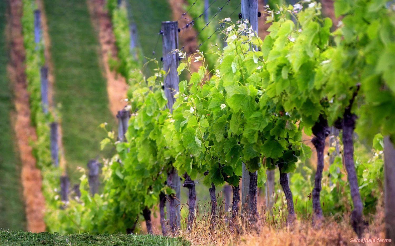 Основные правила и особенности обрезки винограда весной и осенью