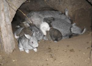 Разведение кроликов в яме в домашних условиях: советы, видео
