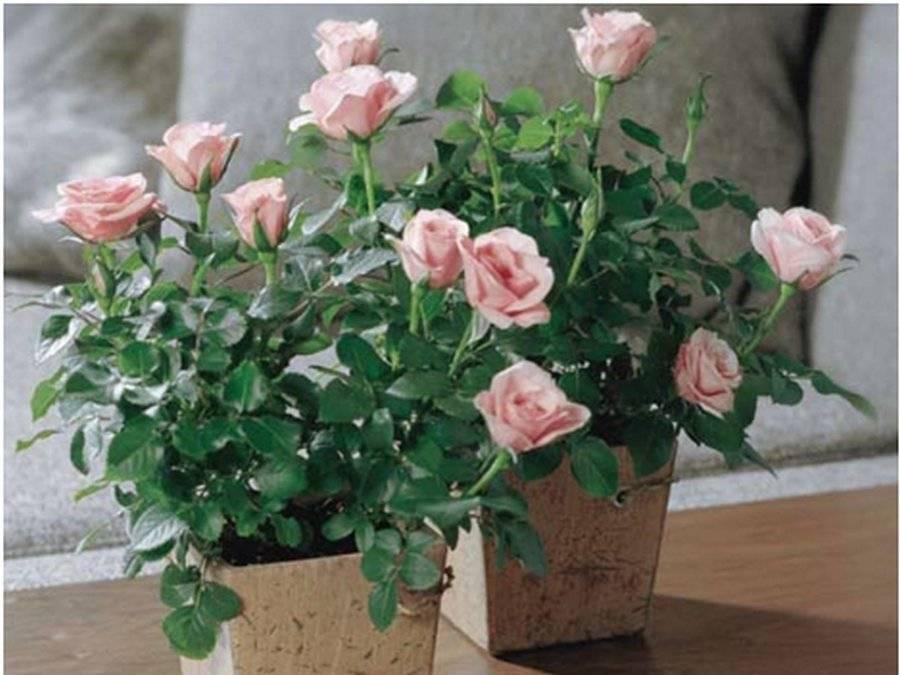 Миниатюрные розы дома в горшке и саду: фото, выращивание, уход - обрезка зимой и весной