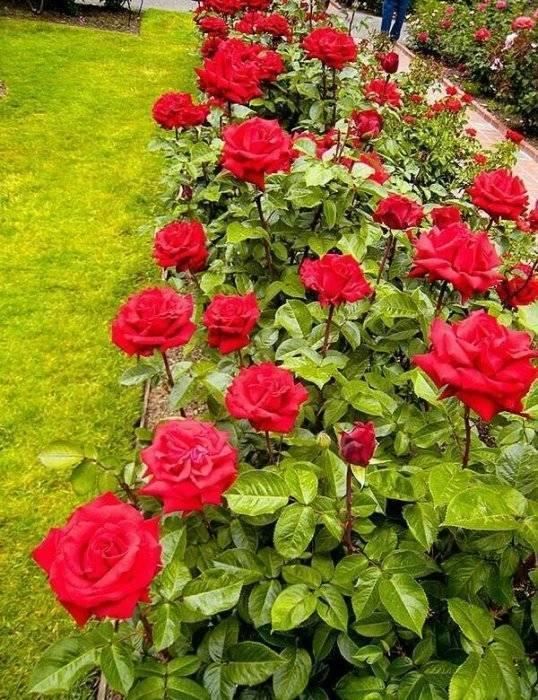 Rosa 'ingrid bergman' — википедия. что такое rosa 'ingrid bergman'
