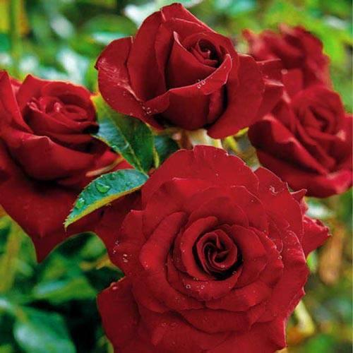 Черная магия роза