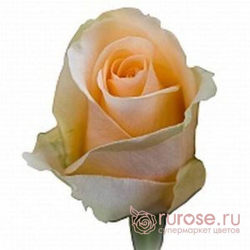 Роза пич аваланж — жемчужина сада