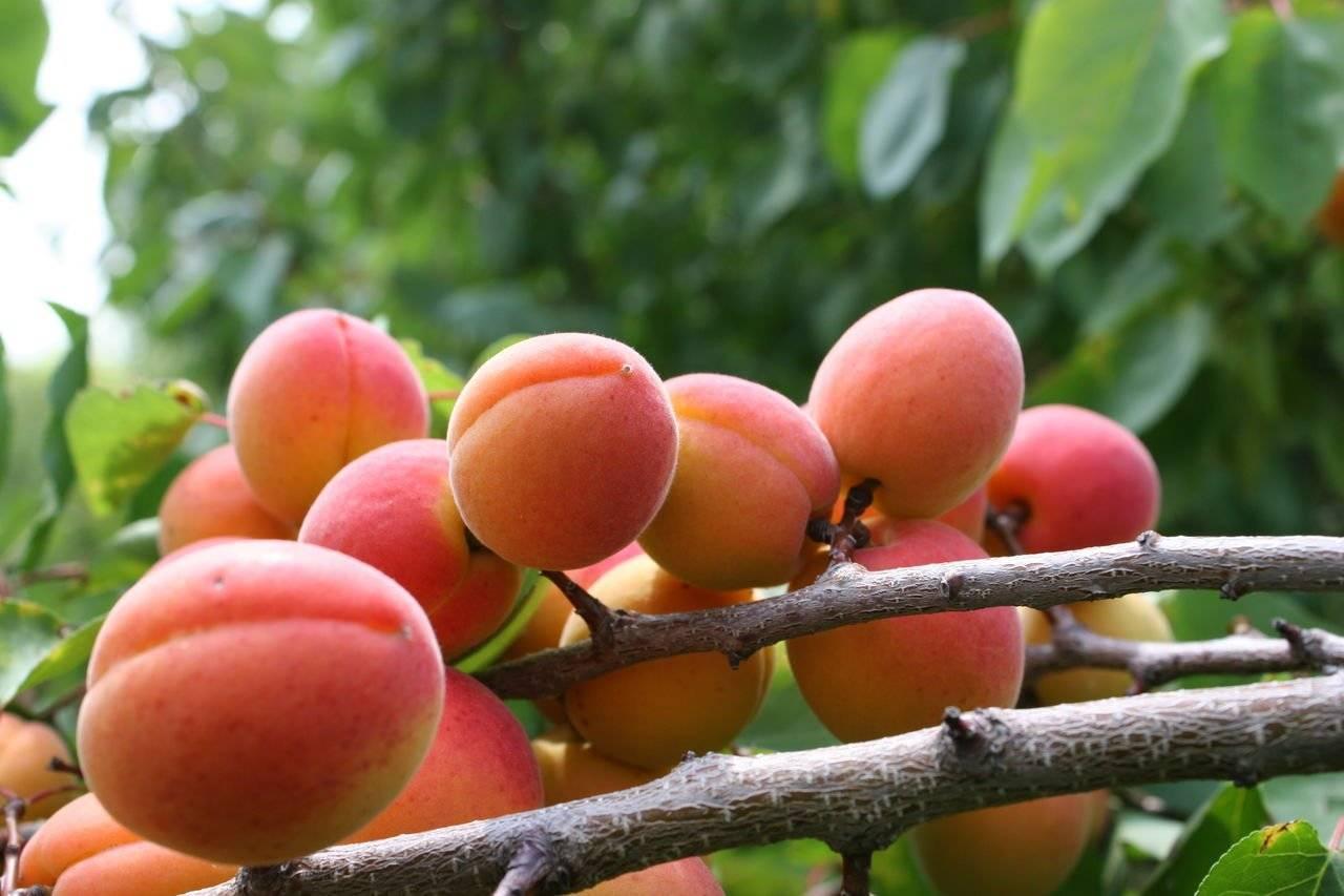 Когда сажать абрикос весной или осенью
