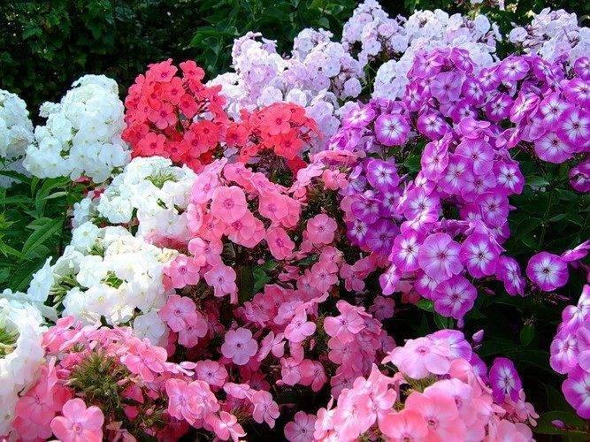 Выращивание флоксов в открытом грунте: оптимальные условия и правильный уход