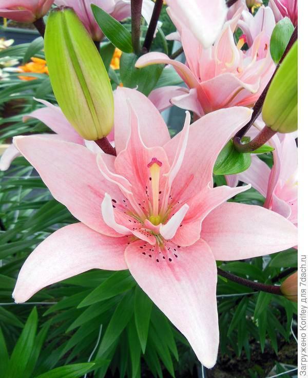 Азиатская лилия (47 фото): сорта с названиями, посадка и уход в открытом грунте, описание гибридов «аннемарис дрим» и «танго»