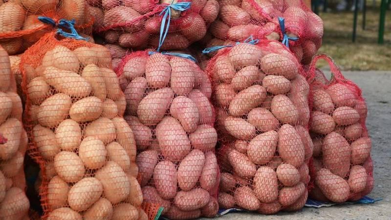 Сынок картофель описание. описание сорта картофеля сынок, или богатырь
