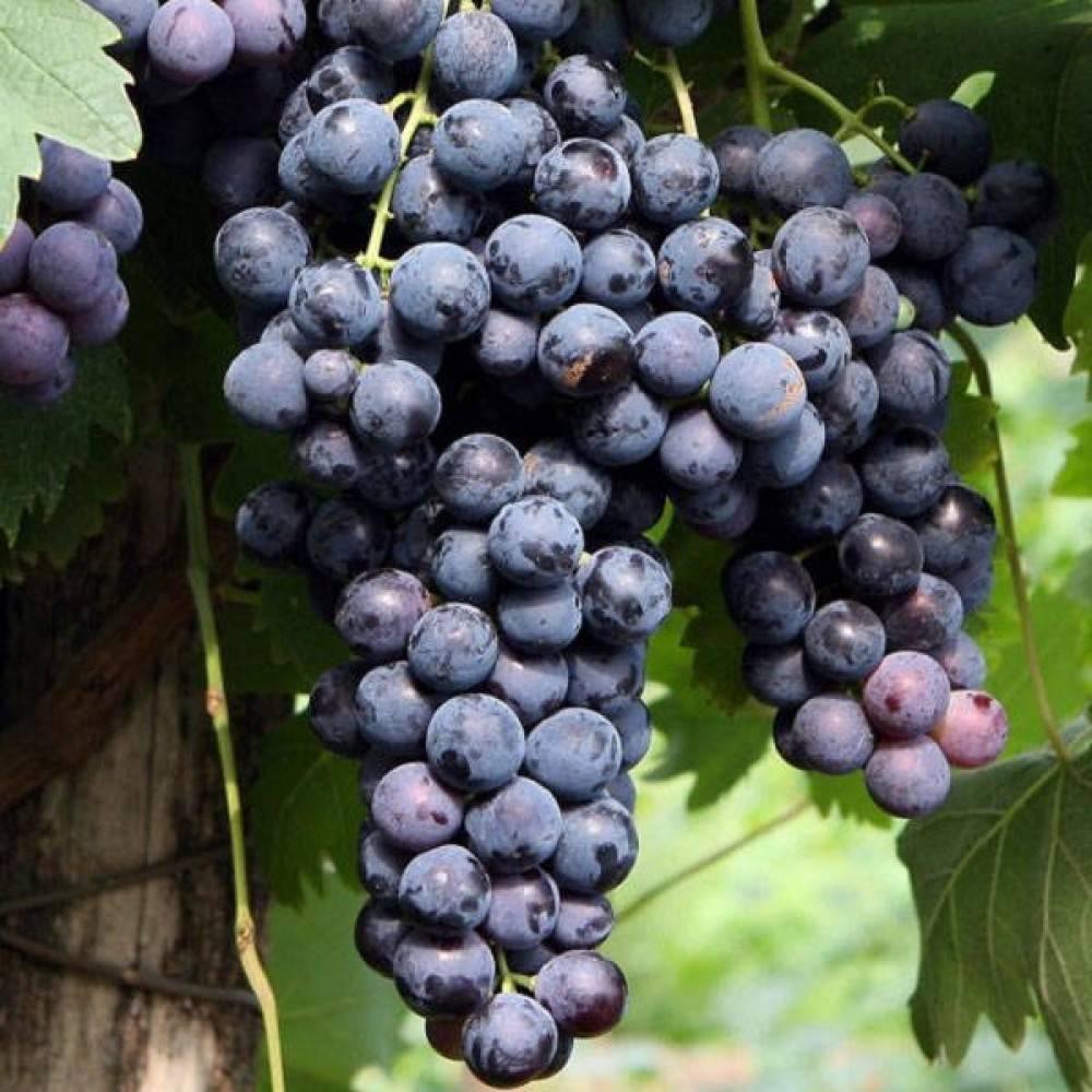 Описание винограда страшенский