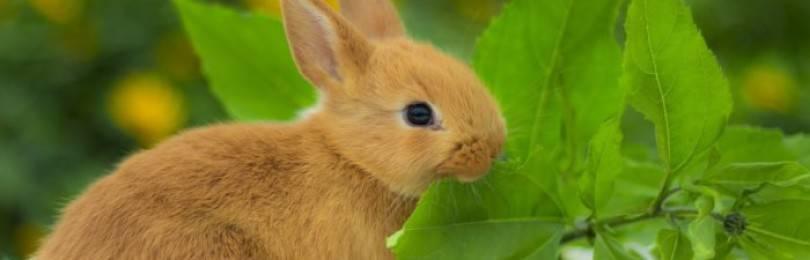 Веточный корм для кроликов: какие ветки можно давать