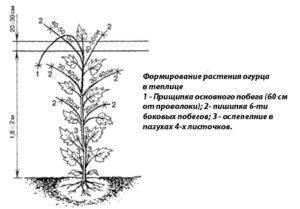 Выращивание огурцов в теплице на урале видео