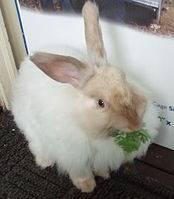 Особенности содержания и разведения ангорских кроликов - общая информация - 2020