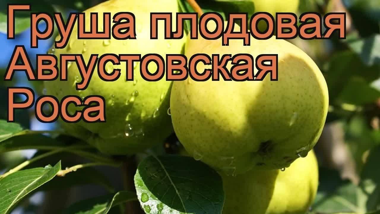 Посадка и уход за грушей августовская роса на даче - общая информация - 2020