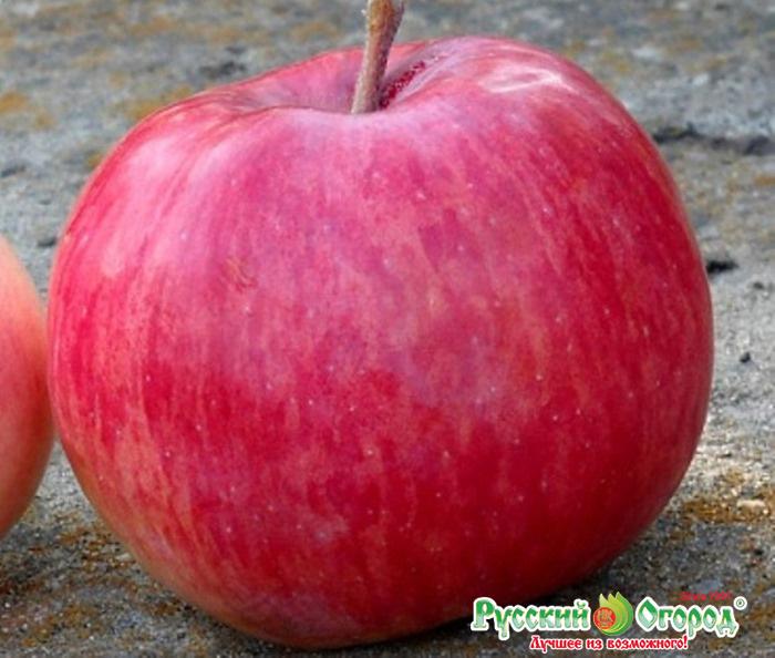 Популярная в сибири яблоня жебровская
