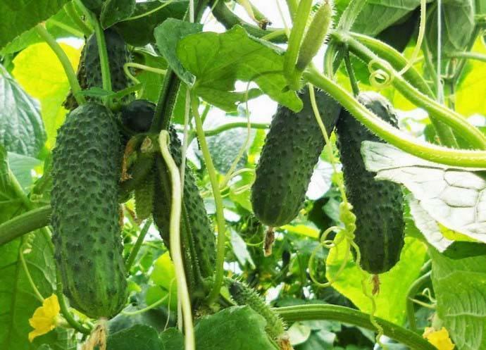 Сорт огурцов седрик: описание, характеристика, выращивание и уход
