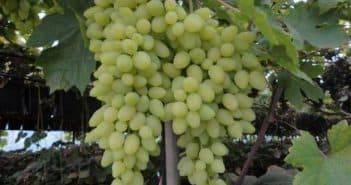 Как ухаживать за виноградом весной и устранить проблемы после зимы?