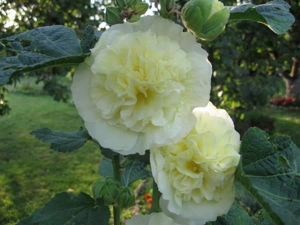 Выращивание шток розы из семян: когда сажать посадка и уход в открытом грунте за однолетней мальвой фото