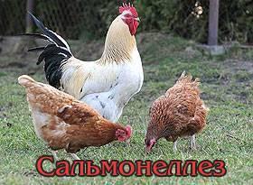 Болезни глаз у куриц: симптомы и лечение