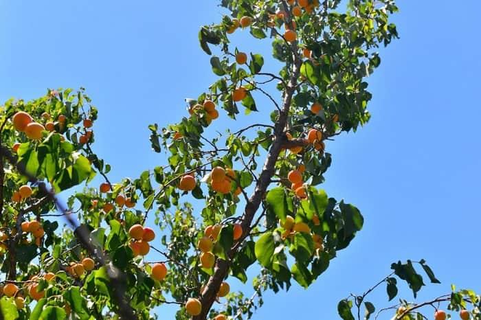 Чем и когда подкормить абрикос. чем подкормить молодой абрикос весной