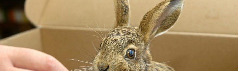 Сколько раз крольчиха кормит крольчат в сутки: питание крольчат