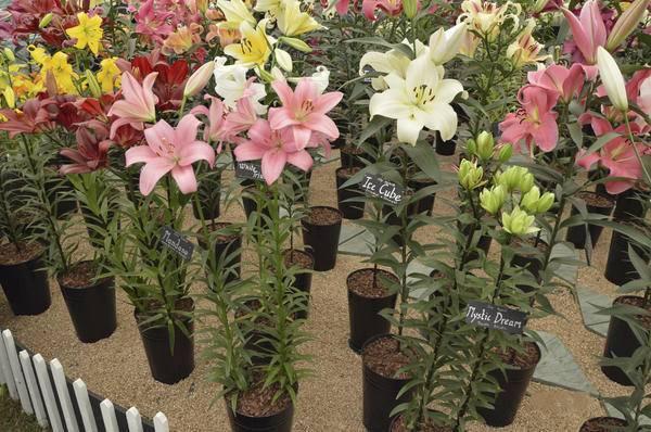 Как посадить лилии весной в открытый грунт и избежать болезней?