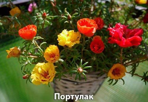 Цветы портулак - выращивание из семян в открытом грунте