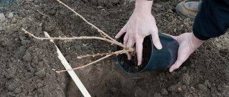 Как правильно пересадить черную смородину весной и осенью