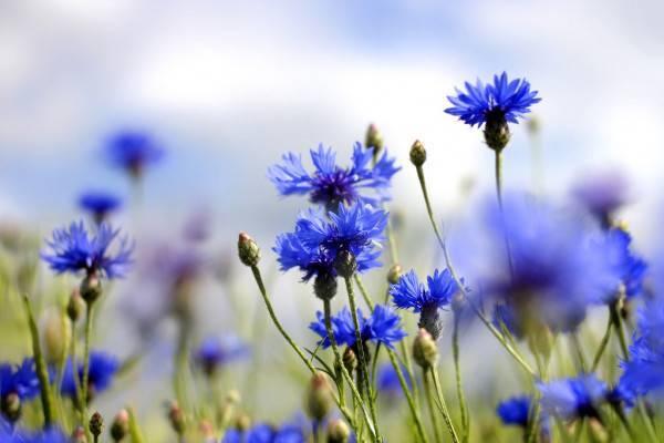 Василек луговой — полезные свойства, описание