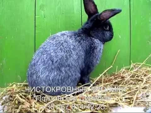 Мясные породы кроликов: критерии выбора и разновидности