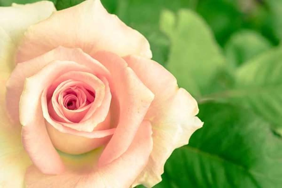 Чайно-гибридные розы: лучшие сорта и правильная обрезка