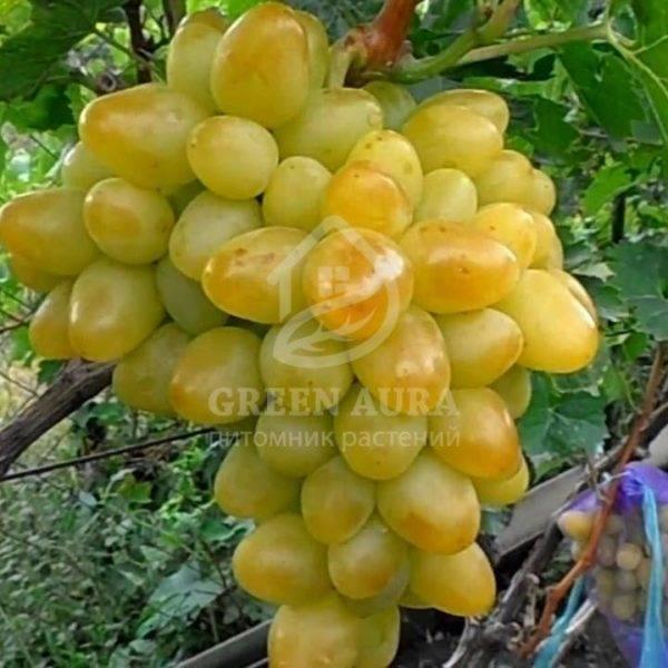 Виноград «аркадия»: описание сорта, фото и отзывы