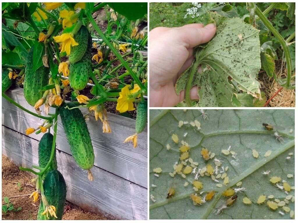 Чем обработать огурцы от тли в период плодоношения