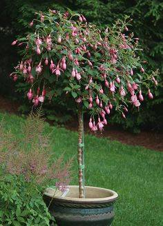 Как обрезать фуксию на зиму: можно ли осенью, какие особенности проведения процедуры для пышного цветения, а также как правильно ухаживать за цветком потом?