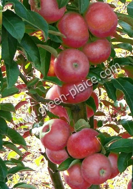 Все о колоновидных яблонях