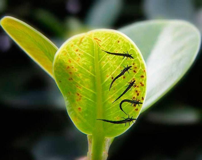 Трипсы на растениях
