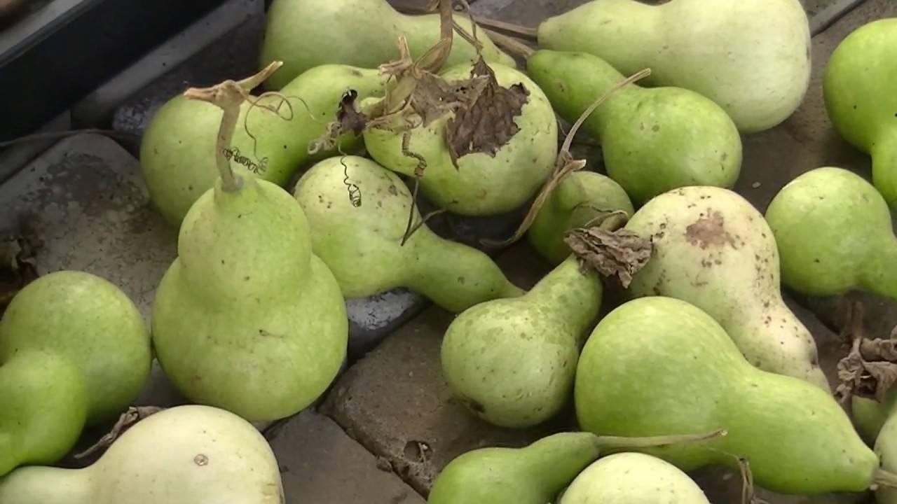 Как выращивать бутылочную тыкву в открытом грунте